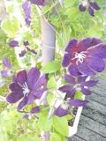 fleurs-laine-feutrée-passiflores-violettes-x2